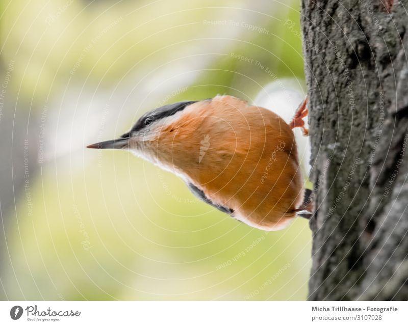 Kleiber am Baumstamm Natur Tier Sonne Sonnenlicht Schönes Wetter Wildtier Vogel Tiergesicht Flügel Krallen Schnabel Auge Feder gefiedert 1 beobachten hängen