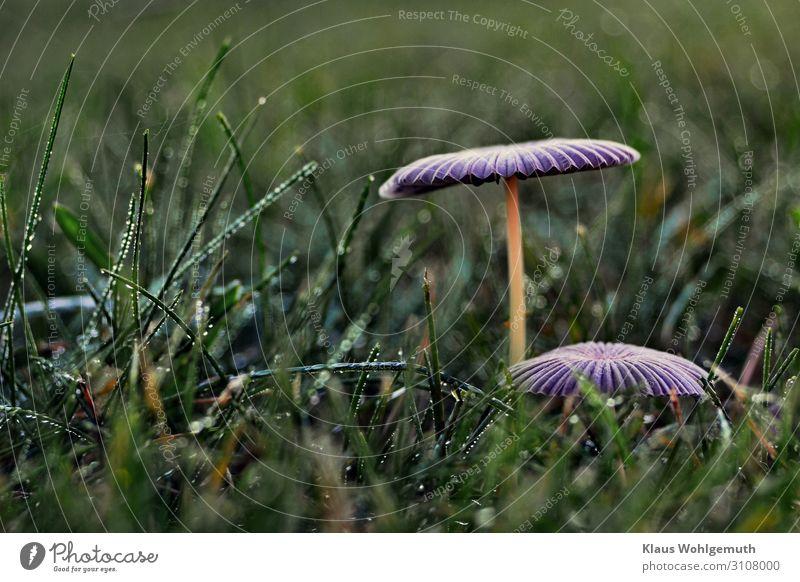 Herbstblues Lebensmittel Pilz Umwelt Natur Pflanze Gras Wiese stehen Wachstum fantastisch blau grün violett Lamelle Traurigkeit Farbfoto Außenaufnahme