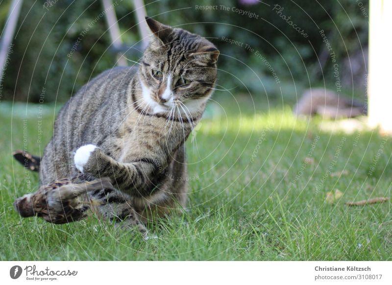 Flieg Vogel flieg Natur Sommer Gras Garten Wiese Haustier Katze Pfote 2 Tier beobachten entdecken Jagd Blick Erfolg Appetit & Hunger Farbfoto Außenaufnahme Tag