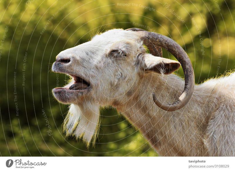Natur Mann weiß Landschaft Tier Gesicht Erwachsene braun wild niedlich Bauernhof Weide Wut lang Säugetier Ackerbau