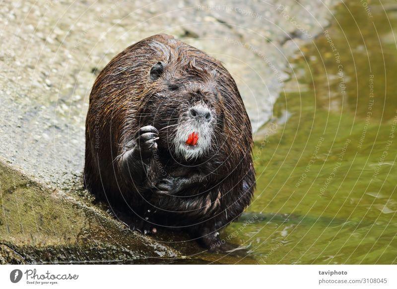süßes Coypu Reinigungsfell Gesicht Leben Erholung Zähne Zoo Natur Tier Teich Pelzmantel klein nass natürlich niedlich wild braun grau schwarz Biberratte