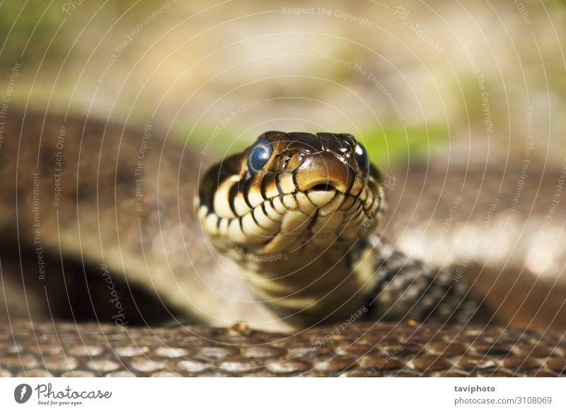 Grasschlangenkopf mit Blick auf die Kamera schön Haut Natur Tier Schlange natürlich wild braun gelb Angst gefährlich natrix Tierwelt Raubtier Lebewesen Reptil