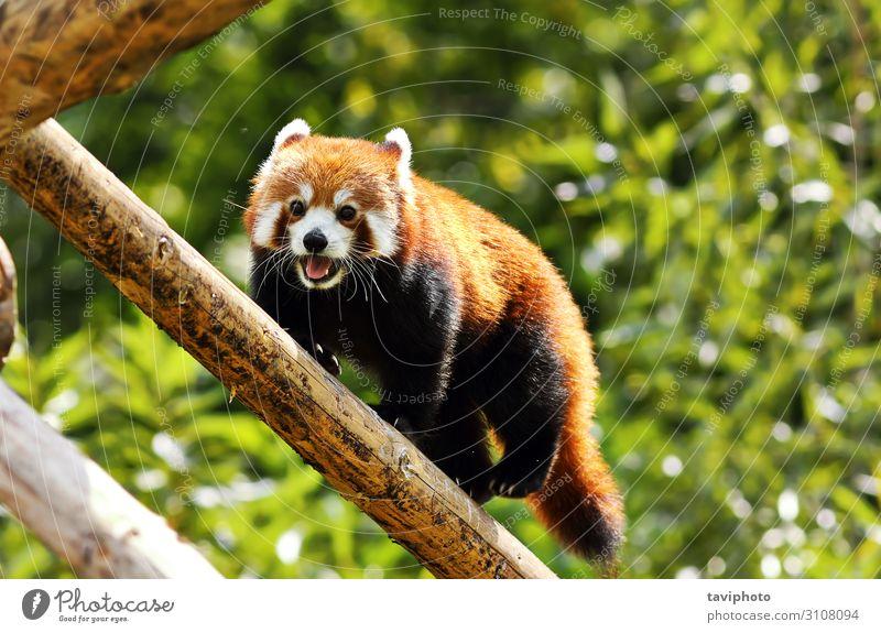 Red Panda klettert hoch hinaus Natur Tier Baum Park Wald Pelzmantel Haustier Katze klein niedlich wild braun grün rot Leitwerke roter Panda Katzenbär