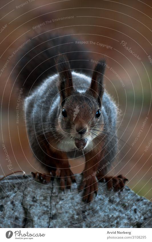 Ein Eichhörnchen, das in die Kamera starrt und eine Nuss im Mund hat bezaubernd Tier Herbst Hintergrund Schönheit Unschärfe verschwommen Bokeh braun neugierig