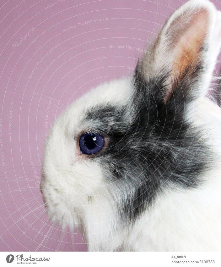Langohr Ostern Tier Haustier Fell Zoo Hase & Kaninchen Hasenohren Tierschutz Auge 1 Blick ästhetisch authentisch weich grau rosa weiß Tierliebe achtsam Design