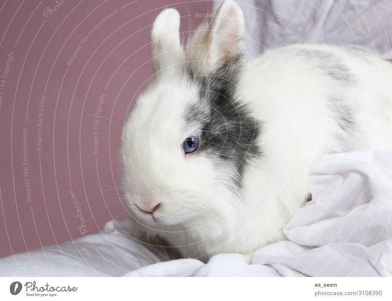 Hase Tier Haustier Tiergesicht Fell Streichelzoo Hase & Kaninchen 1 hocken Blick sitzen ästhetisch authentisch klein niedlich weich blau rosa weiß Gefühle