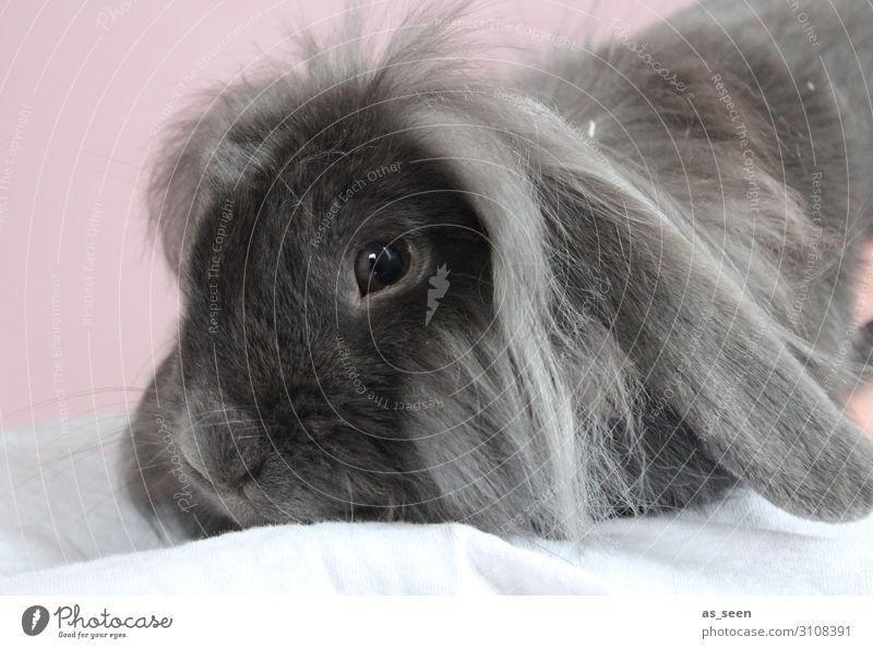 Hasi Tier Haustier Tiergesicht Fell Hase & Kaninchen Nagetiere 1 hocken liegen ästhetisch authentisch kuschlig niedlich grau rosa schwarz Gefühle Tierliebe