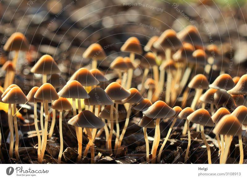 viele kleine braune Pilze wachsen im Gegenlicht im Park Umwelt Natur Landschaft Herbst Schönes Wetter leuchten stehen Wachstum ästhetisch authentisch