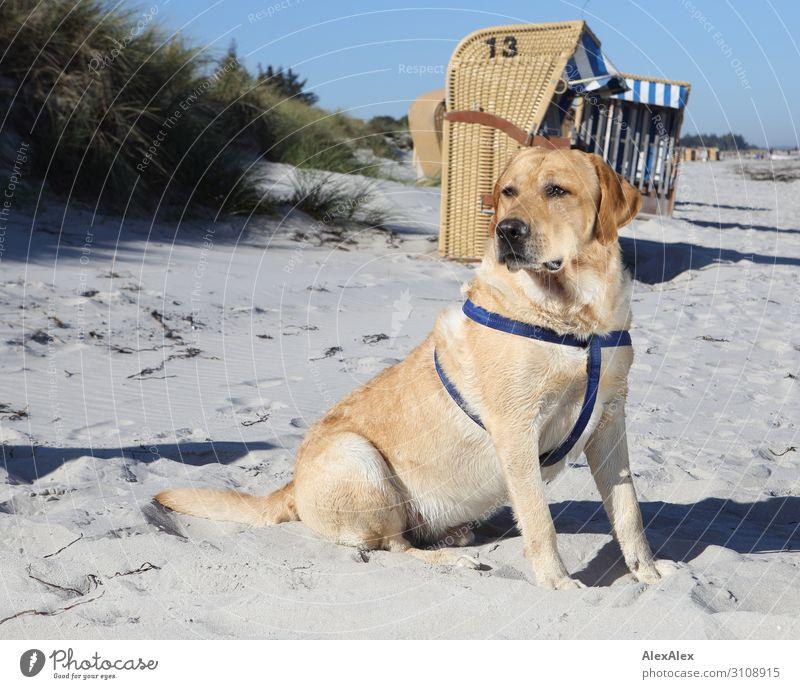Blonder Labrador am Strand Freude Zufriedenheit Sommer Sommerurlaub Sonne Meer Landschaft Schönes Wetter Stranddüne Dünengras Strandkorb blond Haustier Hund