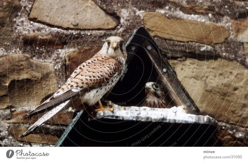 Falke Falken Nest Ernährung Aussicht Wildtier fliegen Lebensmittel