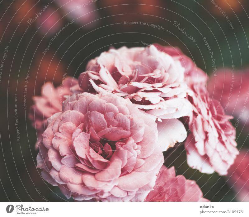 Knospen von rosa blühenden Rosen im Garten schön Sommer Gartenarbeit Natur Pflanze Blume Blatt Blüte Blumenstrauß frisch natürlich retro grün rot Romantik Farbe