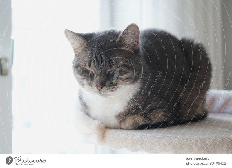 Hauskatze schläft Häusliches Leben Wohnung Tier Haustier Katze 1 Erholung liegen schlafen sitzen Tigerfellmuster grau niedlich kratzbaum ausruhend Farbfoto