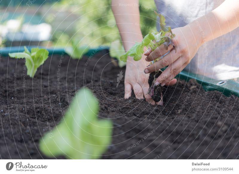 Bio-Eiche Salatplantage Realszene Gemüse Ernährung Vegetarische Ernährung Sommer Garten Industrie Technik & Technologie Hand Umwelt Natur Pflanze Blatt Wachstum
