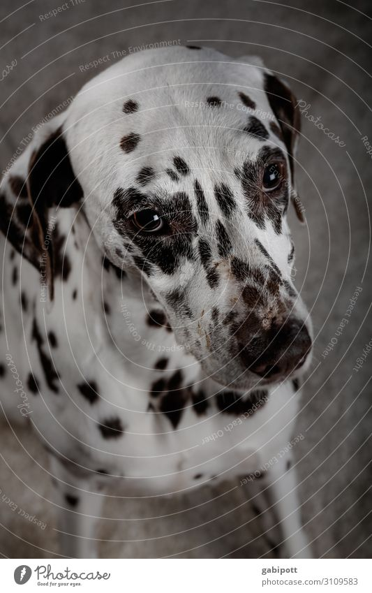 kann ich noch eins haben...? Tier Haustier Hund 1 Blick Kitsch süß niedlich Hundeblick betteln Tierliebe Dalmatiner Auge Punkt Farbfoto Innenaufnahme