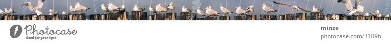 Kolonie Meer Strand Pfosten Tier Vogel Möven Vogelkolonie fliegen