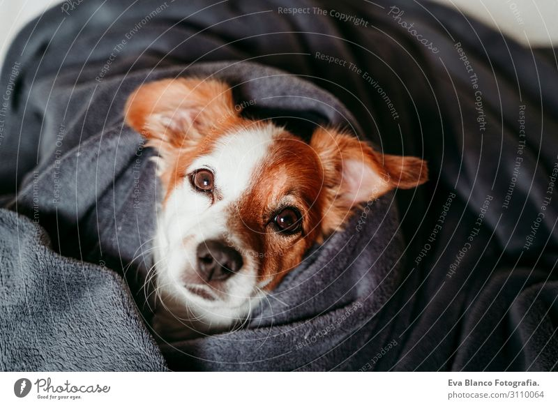 süsser kleiner Jack Russell auf dem Bett liegend, bedeckt mit grauer Decke Lifestyle Glück schön Gesicht Winter Haus Tier Herbst Haustier Hund schlafen warten