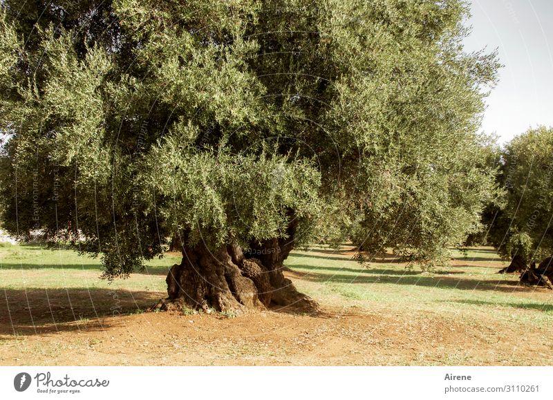 Ölproduzent Landwirtschaft Forstwirtschaft Pflanze Schönes Wetter Baum Nutzpflanze Olivenbaum Olivenhain alt einzigartig natürlich Originalität trocken grün