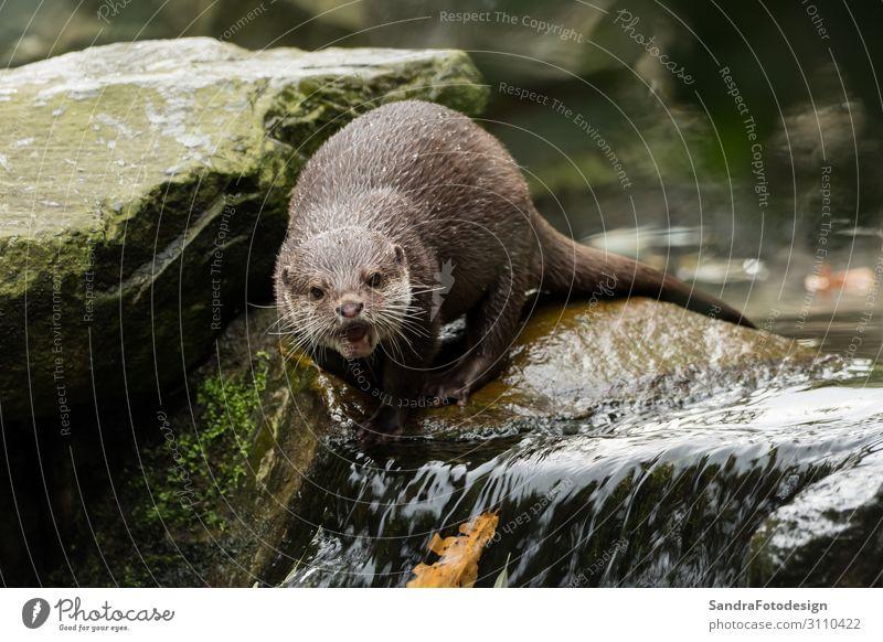 A wet otter on the water Leben Abenteuer Zoo Natur Tier Wildtier 1 füttern tauchen nass Otter animal wildlife fur river cute mammal portrait face close brown