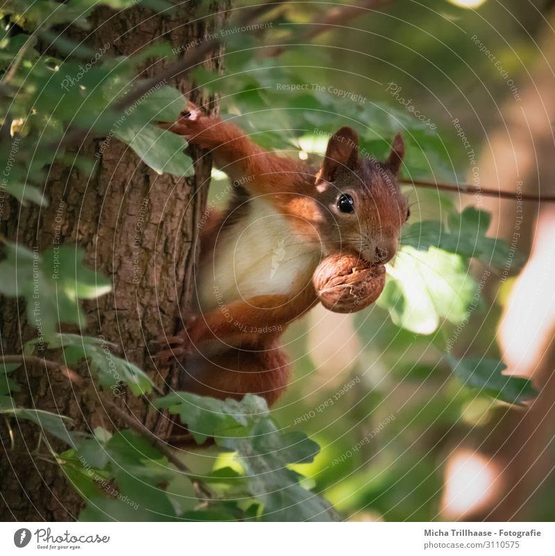 Aufmerksames Eichhörnchen mit Nuss im Maul Natur Tier Sonne Sonnenlicht Schönes Wetter Baum Blatt Baumstamm Wald Wildtier Tiergesicht Fell Krallen Pfote Kopf