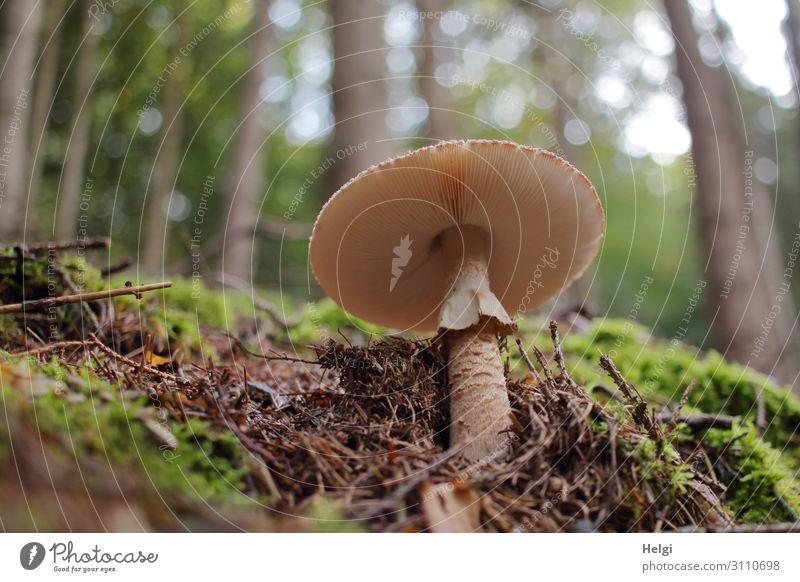 Parasolpilz am Waldboden aus der Froschperspektive, im Hintergrund Bäume mit Bokeh Umwelt Natur Landschaft Pflanze Herbst Schönes Wetter Moos Wildpflanze stehen