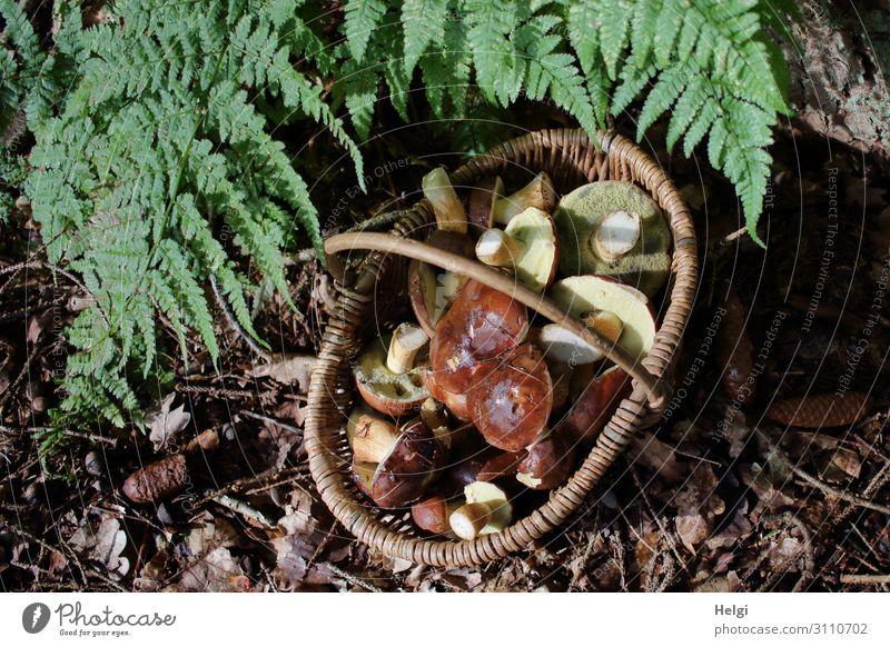 Weidenkorb mit vielen geernteten Pilzen steht unter Farnblättern auf dem Waldboden Umwelt Natur Pflanze Herbst Schönes Wetter authentisch einzigartig natürlich
