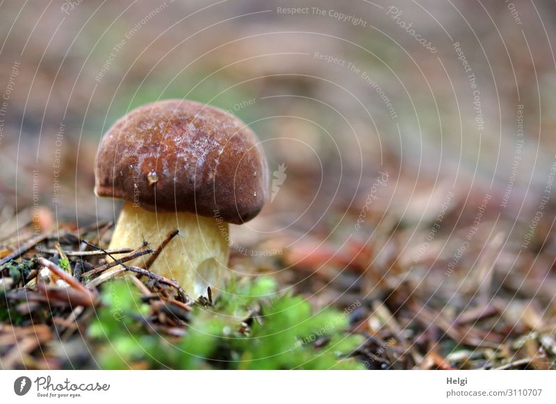 kleiner dicker Maronenröhrling - eine Pilzart - wächst im Herbst am Waldboden Umwelt Natur Pflanze stehen Wachstum frisch lecker natürlich braun gelb grün