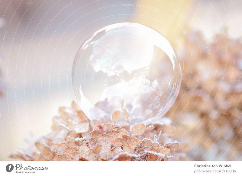 Seifenblase auf gefrorenen Hortensienblüten Umwelt Natur Pflanze Winter Eis Frost Sträucher Blüte Kugel ästhetisch außergewöhnlich fantastisch Fröhlichkeit