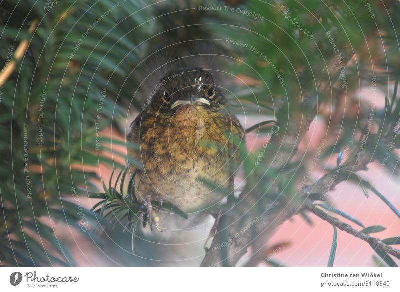 junges Rotkehlchen sitzt in einer Eibe und schaut in die Kamera Tier Sommer Pflanze Baum Wildtier Vogel 1 Tierjunges Blick sitzen außergewöhnlich klein Neugier