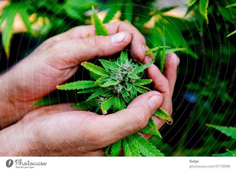 Medizinische Cannabiskultur fast erntereif Medikament Erholung Hand Pflanze Wachstum Schmerz medizinisch Abhängigkeit Gesundheit bewässert Feldfrüchte präventiv