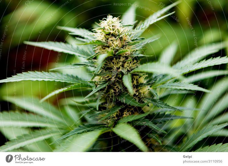 Medizinische Cannabiskultur fast erntereif Medikament Erholung Pflanze Wachstum Schmerz medizinisch Abhängigkeit Gesundheit bewässert Feldfrüchte präventiv