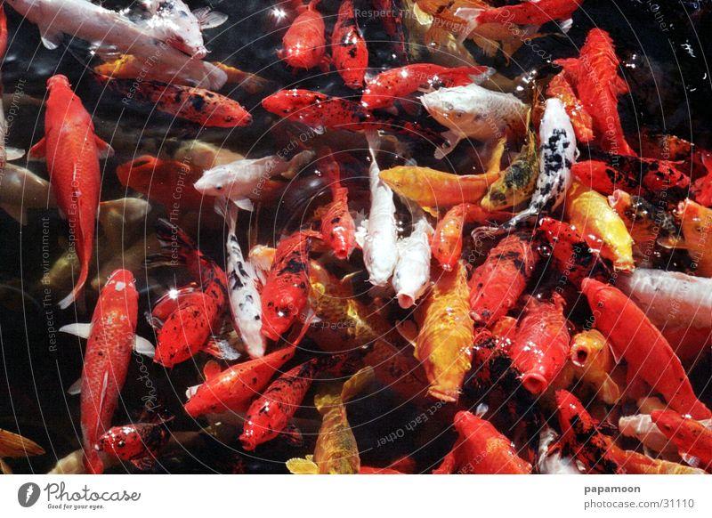 good taste Koi Teich See Goldfisch feucht Verkehr Fisch Mund Maul Wasser