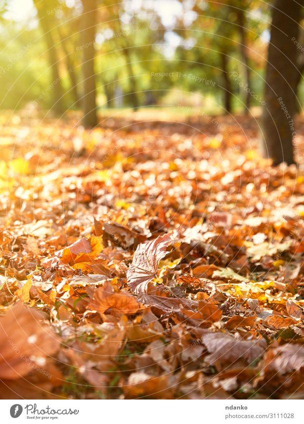 trockene gelbe Ahornblätter auf dem Boden schön Umwelt Natur Landschaft Pflanze Herbst Baum Blatt Park Wald hell natürlich braun gold grün Farbe herbstlich