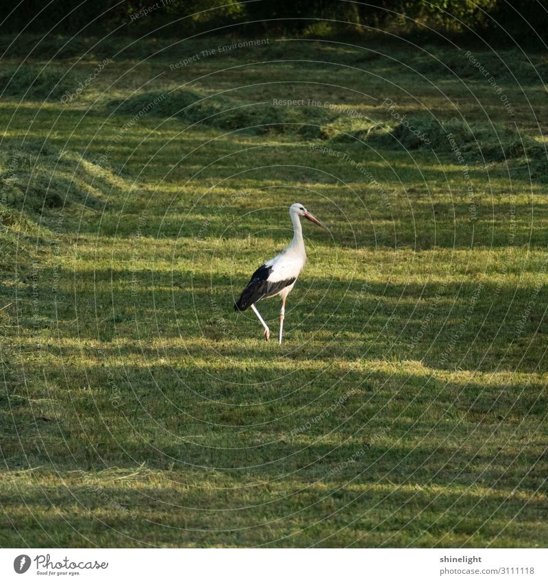 White stork with one leg tightened walking in a green grassland Umwelt Natur Landschaft Tier Wildtier Schnabel Flügel Tierfuß Auge Storch Vogel Schreitvögel