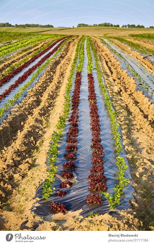 Biobauernhof mit Feldern, die mit Plastikmulch bedeckt sind. Gemüse Salat Salatbeilage Gartenarbeit Landwirtschaft Forstwirtschaft Landschaft Pflanze Erde