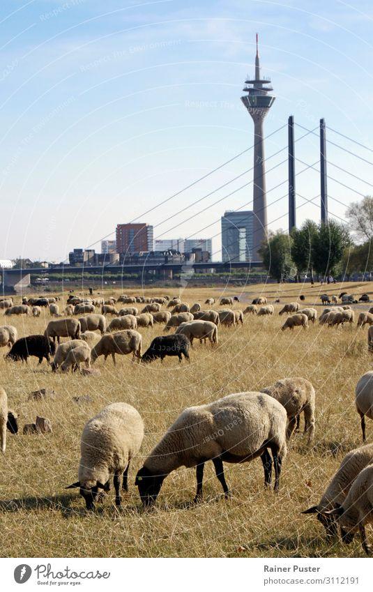 Klimawandel: Schafe auf trockener Wiese in Düsseldorf Wolkenloser Himmel Wetter Schönes Wetter Stadt Stadtzentrum Nutztier Schafherde Herde Fressen blau braun