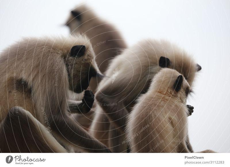 Affenbande exotisch Freude Ferien & Urlaub & Reisen Tourismus Abenteuer Ferne Safari Tier Wildtier Tiergruppe Erholung schön grau Gefühle Stimmung Laster Glück