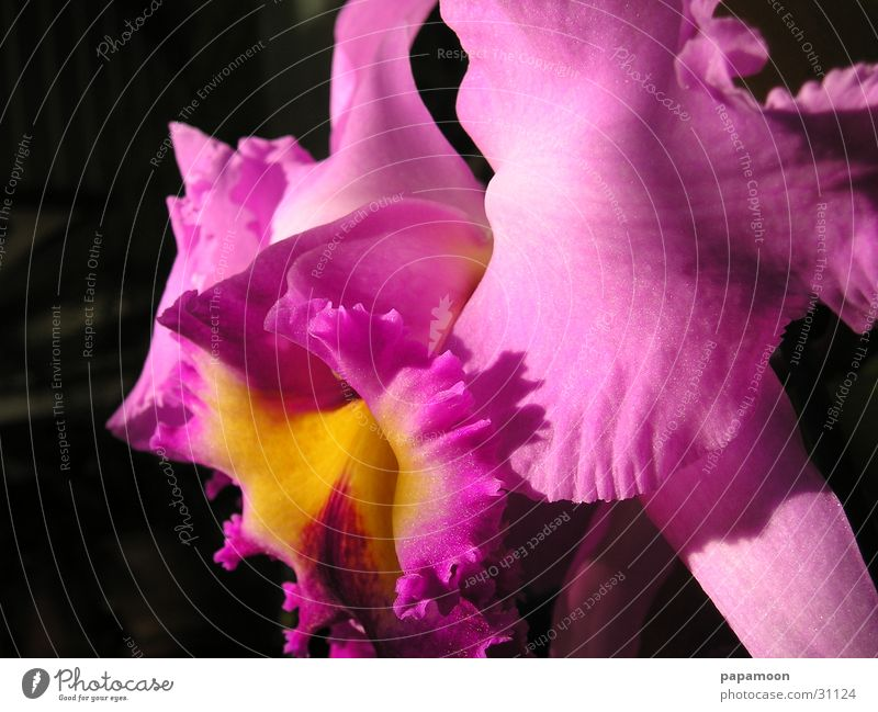 pink orchid Orchidee rosa Blüte Blume Pflanze Catleya Stempel Lippen