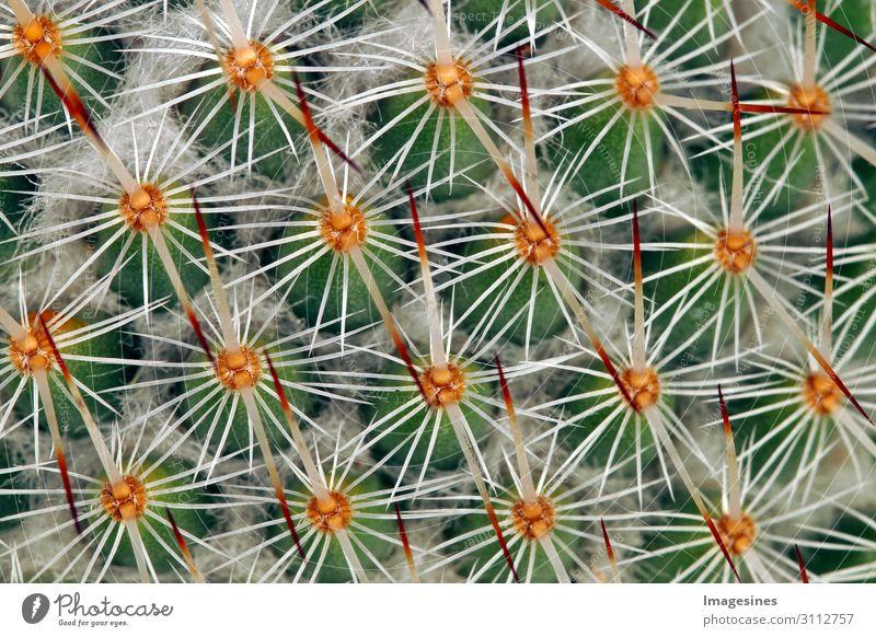 """Kaktus Nahaufnahme Natur Pflanze Wildpflanze exotisch Erotik stachelig mehrfarbig Schmerz """"wachsen wachstum blatt,makro natürlich scharf spitz struktur"""