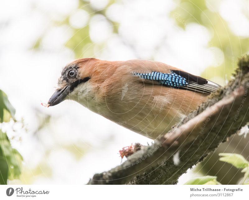 Eichelhäher auf einem Ast Natur Tier Himmel Sonnenlicht Schönes Wetter Baum Blatt Zweige u. Äste Wildtier Vogel Tiergesicht Flügel Kopf Schnabel Auge Feder