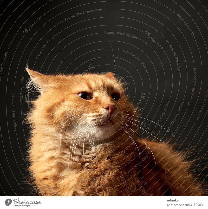 Porträt einer rothaarigen erwachsenen Katze Mann Erwachsene Natur Tier Haustier lustig niedlich gelb schwarz Farbe reizvoll heimisch Auge fluffig pelzig