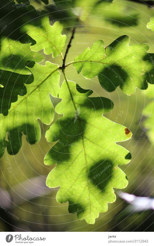 grün Natur Pflanze Blatt ruhig Wald Gesundheit natürlich frisch Schönes Wetter Gelassenheit positiv Eichenblatt