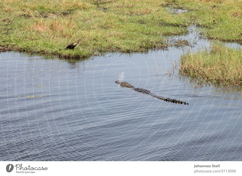 Natur Wasser Tier Wiese Vogel Schwimmen & Baden wild Wildtier Abenteuer gefährlich Seeufer Flussufer Jagd Safari Bootsfahrt