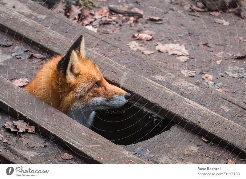 Fuchs schaut aus einem Bodenloch Tier Wildtier Tiergesicht 1 Holz Blick braun Fuchsbau herausschauen Farbfoto Außenaufnahme Textfreiraum rechts