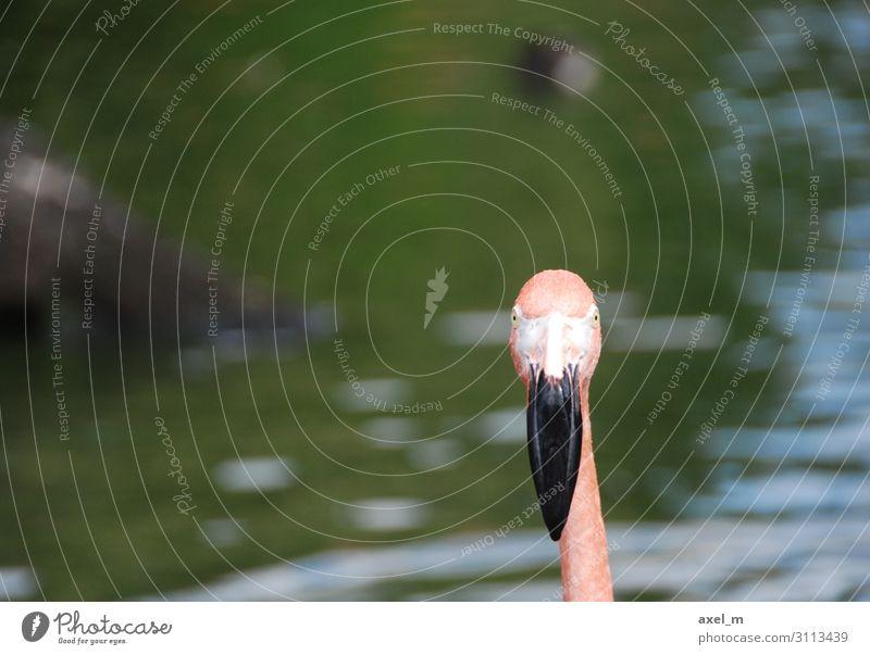 Flamingo Ausflug Sommer Natur Tier Wasser Wildtier Vogel Tiergesicht Zoo 1 ästhetisch mehrfarbig Farbfoto Außenaufnahme Nahaufnahme Textfreiraum links Tag Licht
