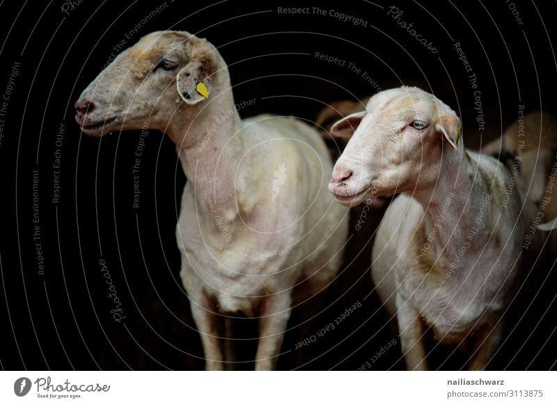 frisch frisiert Landwirtschaft Forstwirtschaft Bauernhof Tier Nutztier Tiergesicht Fell Schaf 2 Herde Tierfamilie beobachten Blick warten Zusammensein kuschlig