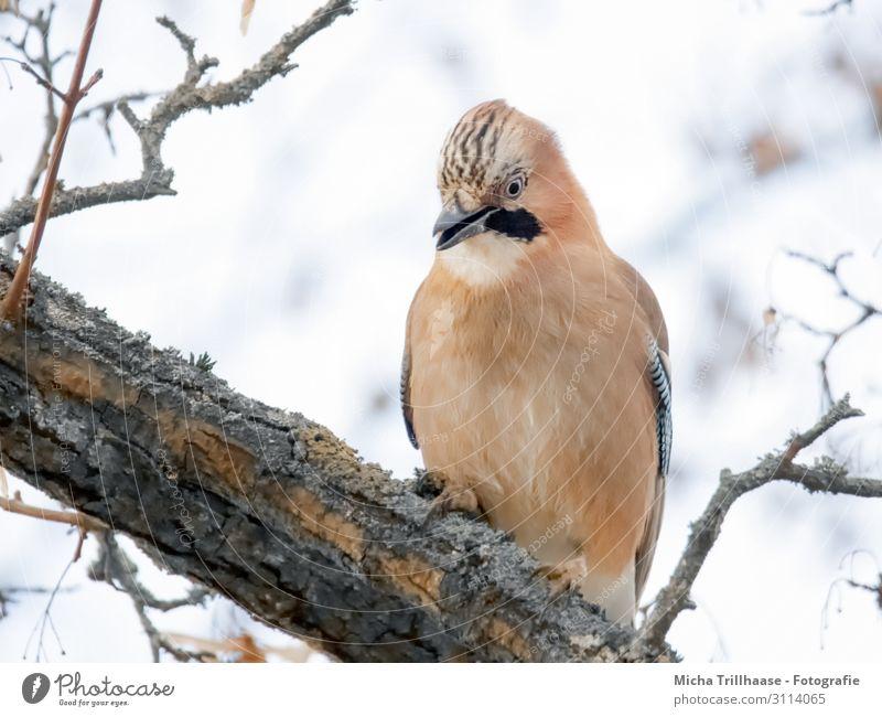 Eichelhäher im Baum Natur Tier Himmel Sonnenlicht Zweige u. Äste Wildtier Vogel Tiergesicht Flügel Krallen Kopf Schnabel Auge Feder gefiedert 1 beobachten