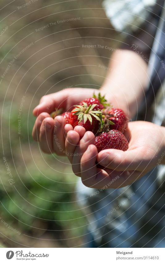 Erdbeerglück Lebensmittel Frucht Ernährung Bioprodukte Vegetarische Ernährung Diät Slowfood Freude Sinnesorgane Duft Kind Junge 1 Mensch lecker dankbar