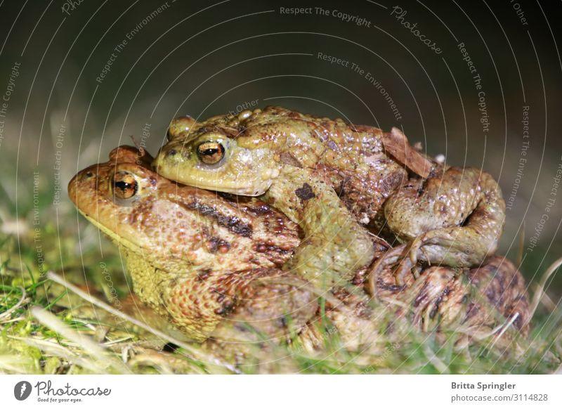 Erdkröte, Frosch, Kröte Umzug (Wohnungswechsel) Bildung Team Umwelt Tier 2 tragen Zusammensein Frühlingsgefühle Willensstärke Umweltschutz Farbfoto Dämmerung