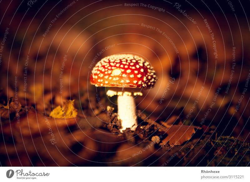 ein Männlein steht im Walde Natur Landschaft Pflanze Erde Herbst Pilz braun mehrfarbig rot weiß eitel Fliegenpilz Herbstlaub Herbstfärbung Farbfoto