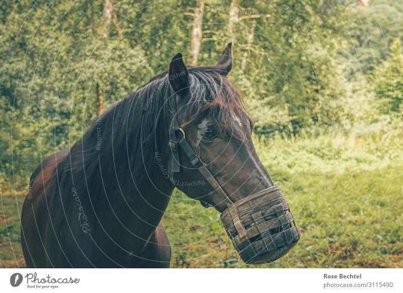 Dunkles Pferd mit Maulkorb Tier Nutztier 1 Leder Diät füttern braun Tierliebe Verantwortung gefräßig Fressbremse Weide Tierdiät Farbfoto Außenaufnahme